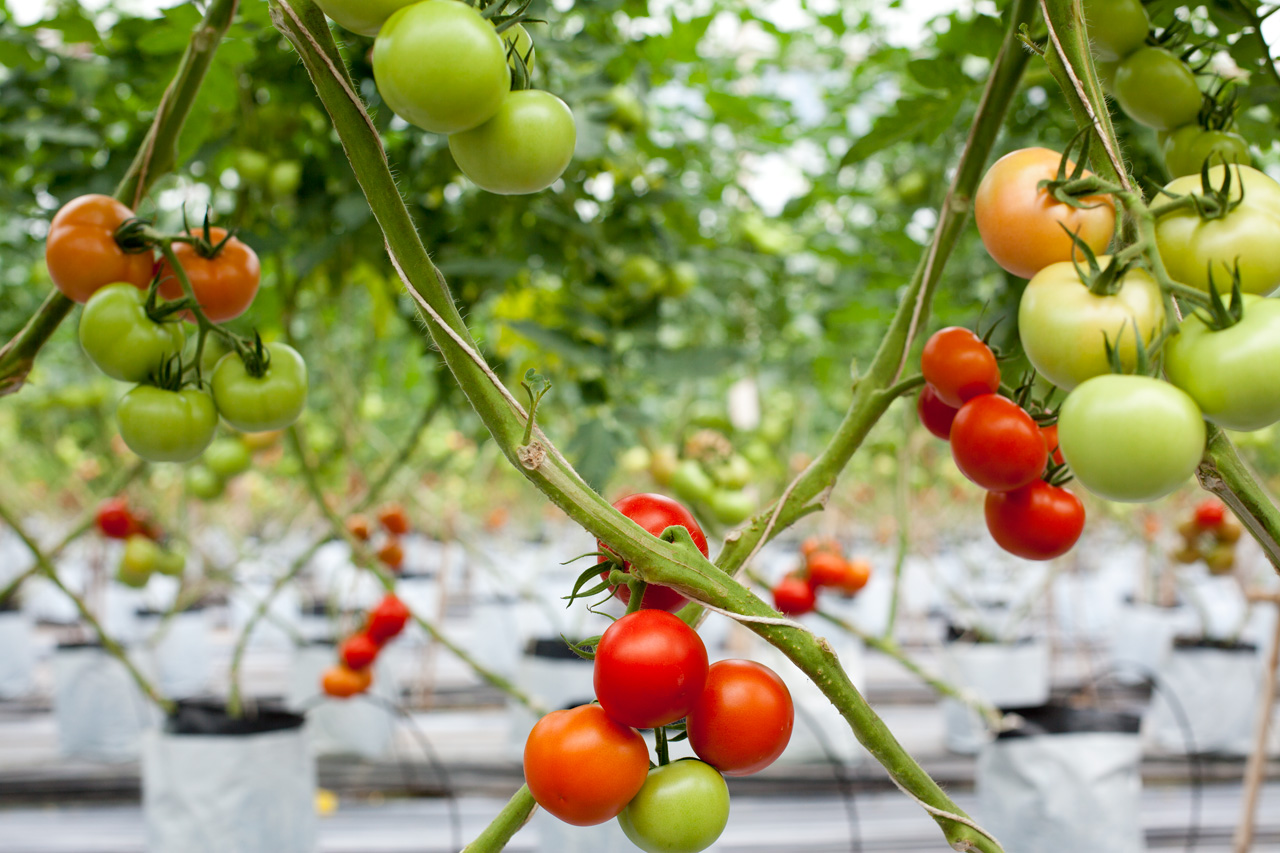 Menno's tomatoes