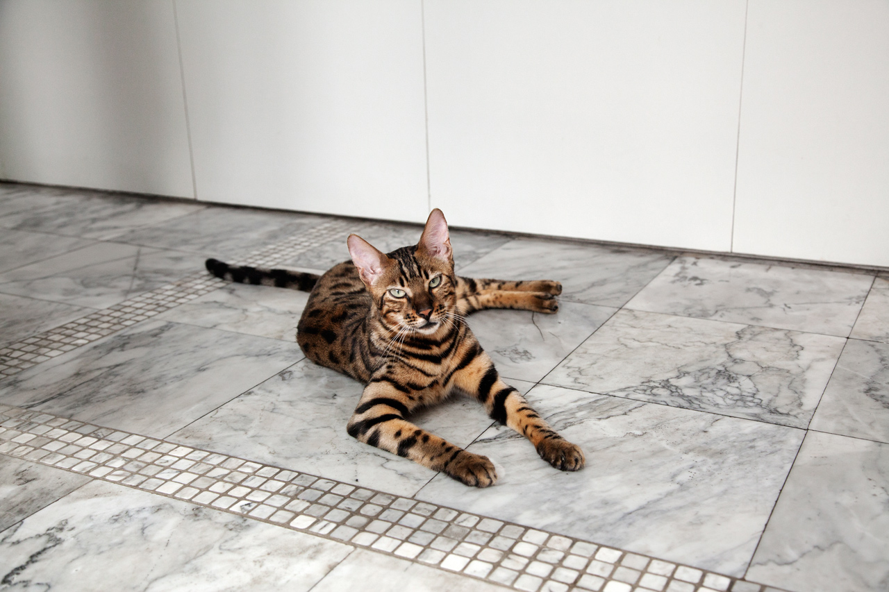 A cat with a 10% of leopard. Stefania's house.